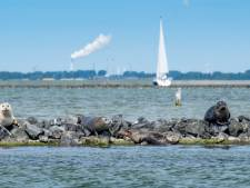 Massale zeedierensterfte in Grevelingenmeer; Stichting Anemoon spreekt van 'deathzone'