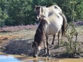 Stichting wil Flevolandse konikpaarden in Spanje redden: 'Dit is dierenmishandeling'