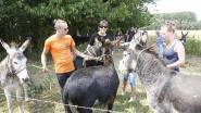 63 schapen, 44 ezels, 15 geiten en dertigtal ganzen: zwaar verwaarloosde dieren in beslag genomen na maandenlange strijd