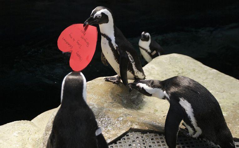 Ook de pinguïns in San Francisco vieren Valentijnsdag