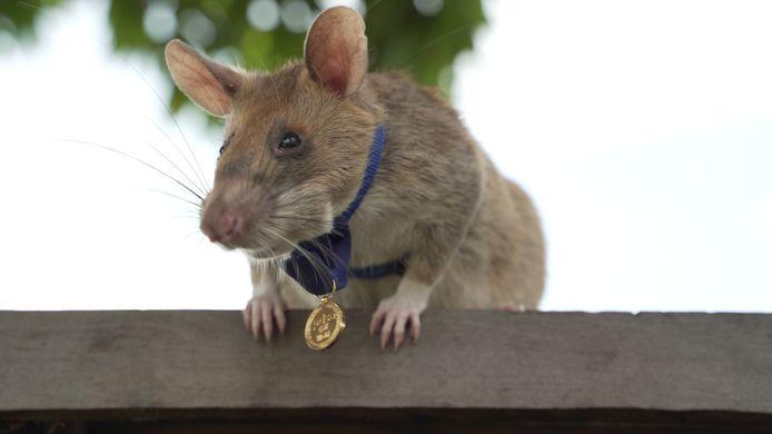 Magawa, een mijnensuffelende rat werkzaam in Cambodja, krijgt de grootste dierenonderscheiding.