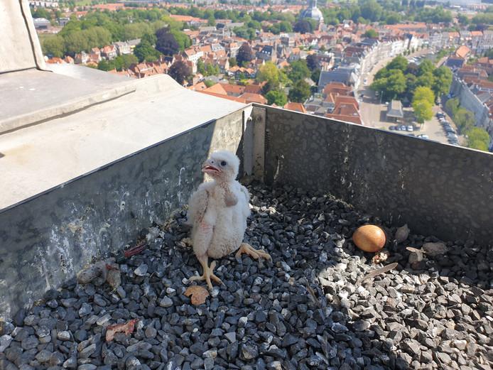 Uit een nest op de Lange Jan in Middelburg is een jonge slechtvalk geboren.