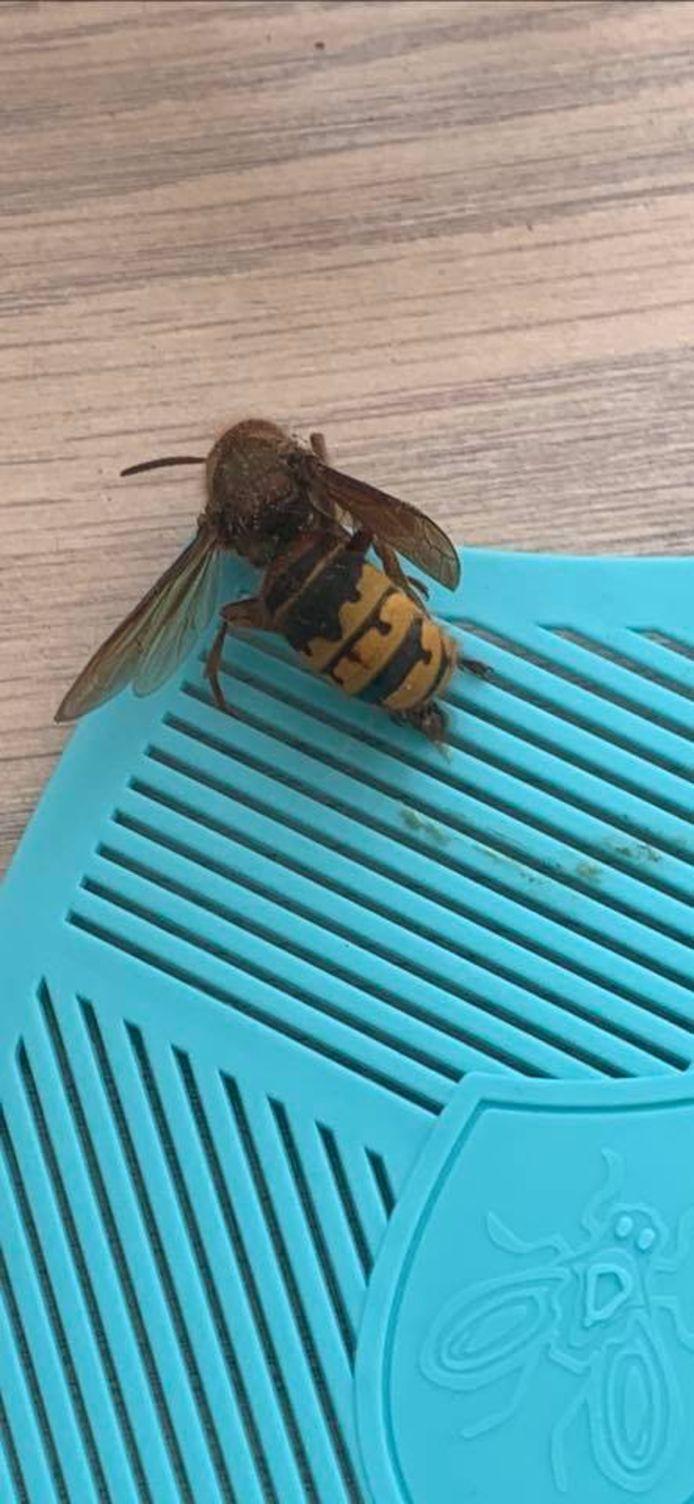 Een Europese hoornaar.
