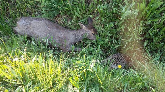 Een dode reegeit en fazanthen werden aangetroffen in de gracht langs de Rijststraat.