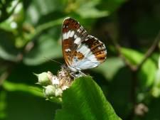 De droogte bedreigt de ijsvogelvlinder in Twente en de Achterhoek