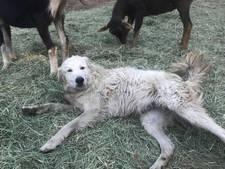 Onverschrokken hond loodst met succes geitenkudde door bosbranden