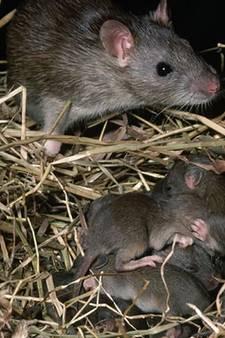 Ook in Sint Marten ratten gezien