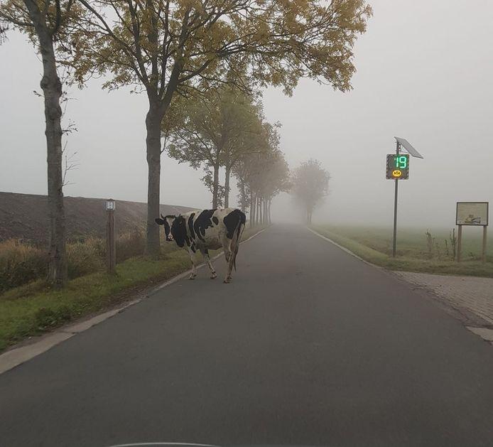 Deze koe was op een vrijdagmorgen op wandel op Schanker in Essen.