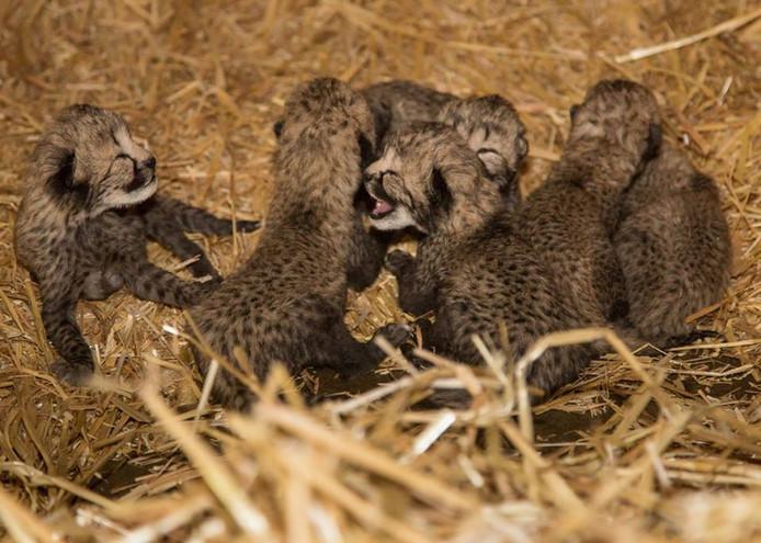 De zes cheetahwelpen in Burgers' Zoo.
