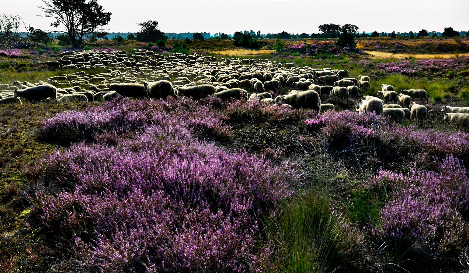 De schapen van herder Tanja Raams eten het gras tussen de heide weg.