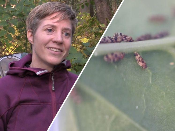 De Japanse duizendknoop in Nederland heeft er een vijand bij: De bladvlo