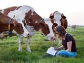 Een afgelegen Waalstrandje met badgasten en de koe