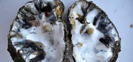 Daar is de volgende plaaggeest voor oesters: de Polydora websteri