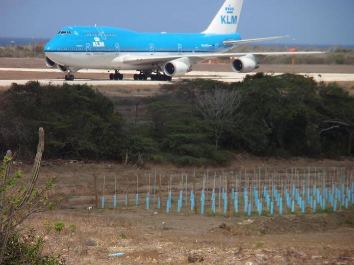 De aanplant van jonge wijnranken op Curaçao, met op de achtergrond een KLM-toestel op de aanpalende luchthaven.