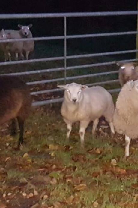 Van wie zijn deze schapen in de Noordoostpolder?