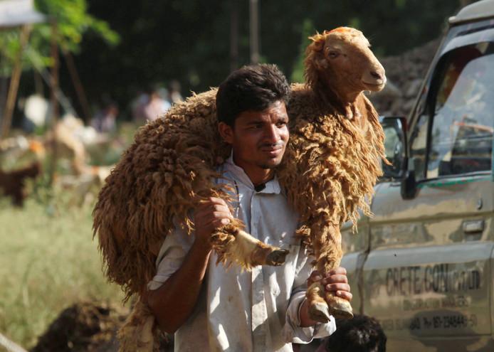 Dit kan natuurlijk ook. Zowel schaap als bezitter ogen best ontspannen. Islamabad, Pakistan.