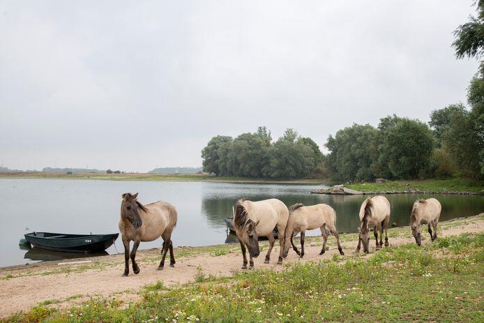 Konikpaarden grazen bij het Oude Grindgat in Weurt. In het vlees van een van deze dieren is twee maal zo veel dioxine gevonden als is toegestaan voor menselijke consumptie.