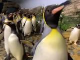 Pinguïns gaan 'los' in verlaten Diergaarde Blijdorp
