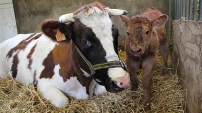 Kinderboerderij Rivierenhof verwelkomt kalfje en twee varkentjes