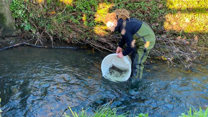 Waterkwaliteit Molenbeek stilaan optimaal: jaarlijks uitzetten kopvoorns moet voor nieuwe impuls zorgen