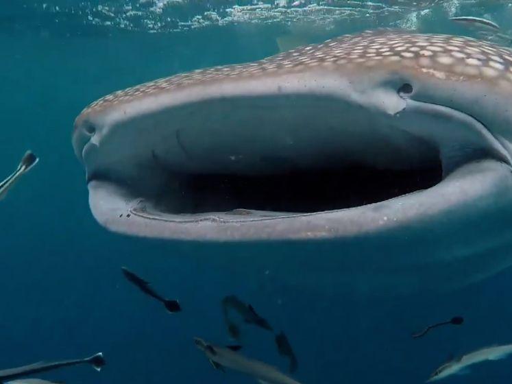Nieuwsgierige walvishaai zwemt naar speedboot