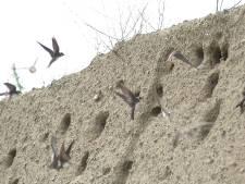 Grootste Belgische kolonie oeverzwaluwen ooit broedt in Antwerpse haven