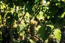 De druiven zijn bijna rijp voor de pluk.