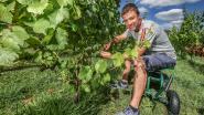 Extreme hitte tast fruit aan, ook wijnbouwers hebben schade