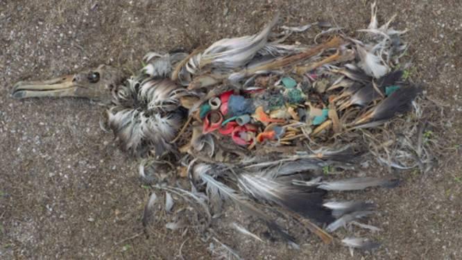 Dit doet plastic met een vogel
