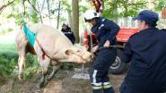 Koe gewond aan poot nadat ze in beek sukkelt