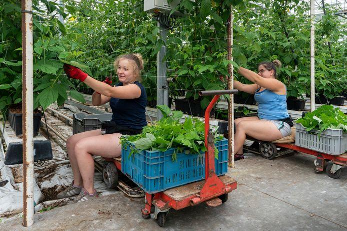 Bij fruitkweker Simons houden de Poolse werknemers de corona-afstand in acht met het bewerken van de frambozen.