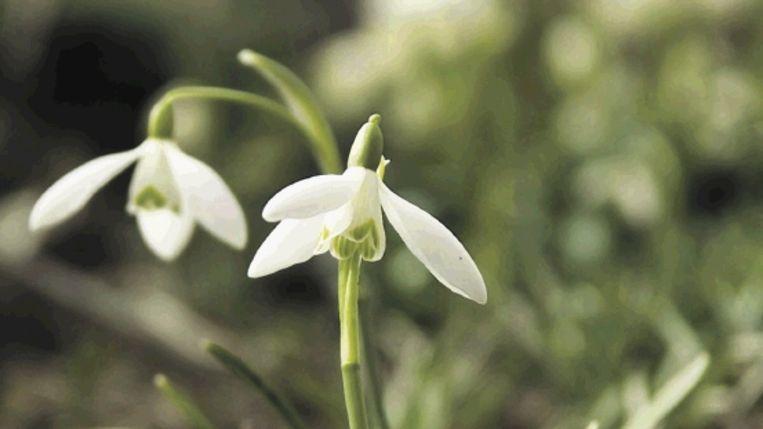 Het meest voorkomende sneeuwklokje: Galanthus nivalis. (FOTO DAVID PALOCH) Beeld