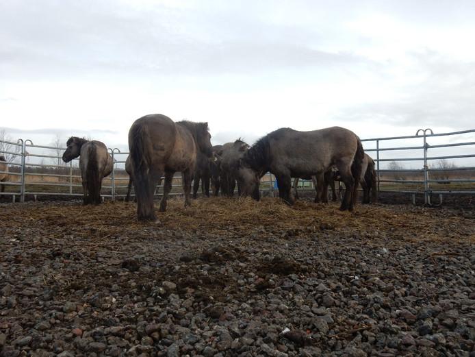 Konikpaarden in de vangkraal het Oostvaardersveld