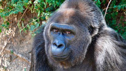 """Trudy (63), de """"oudste gorilla in gevangenschap"""", is overleden"""