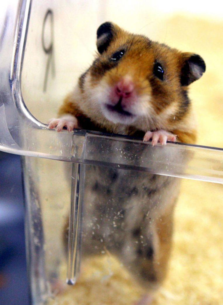 Hoe is het nou om een hamster te zijn? Foto EPA Beeld