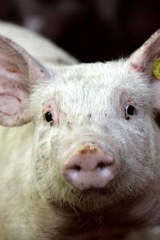Advocaat van Boekelse varkensboer Coppens: er is in feite maar één bedrijf
