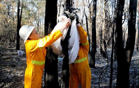 Australische reddingswerkers redden een gewonde koala.
