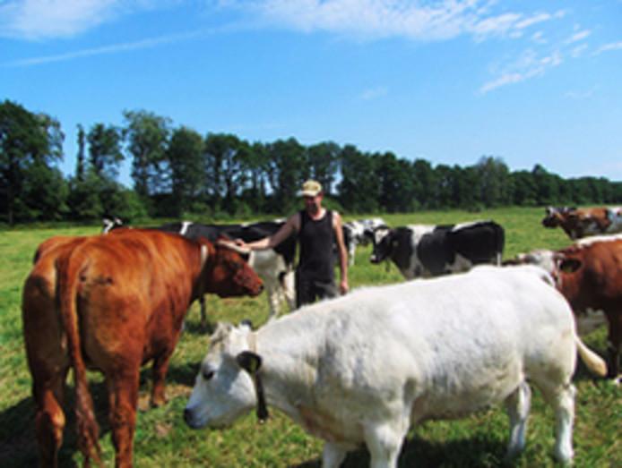 Andere koeien in het weiland van het Friese 'Koeienrusthuis'