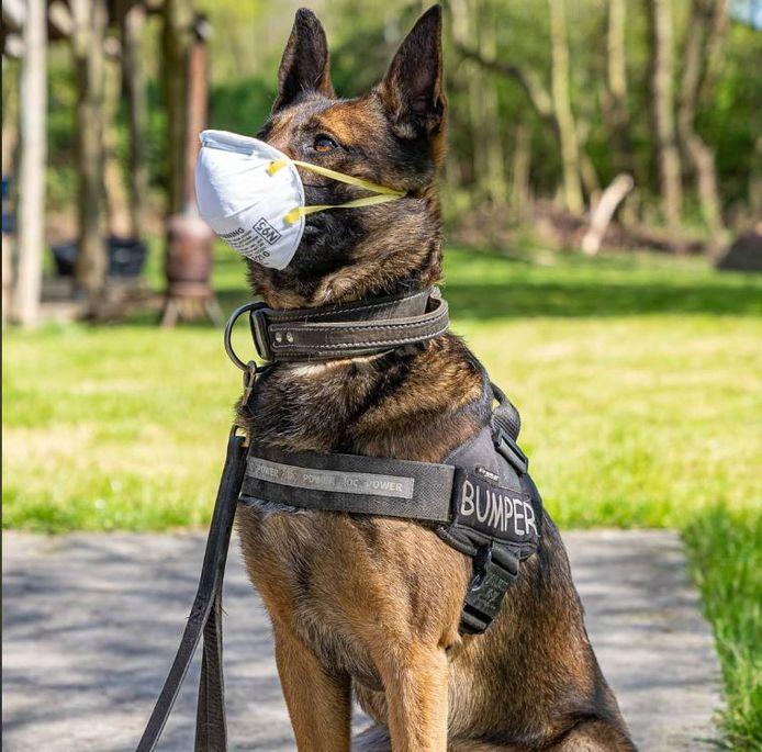 Politiehond Bumper met een mondkapje.