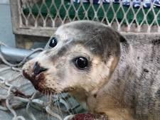 Le phoque frappé par un pêcheur n'a pas survécu