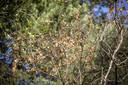 Bladeren van een berk zijn al verkleurd.