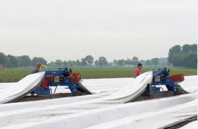 Poolse arbeidskrachten bezig op een akker met asperges.