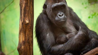 Verzorgers ontdekken geslacht van pasgeboren babygorilla T