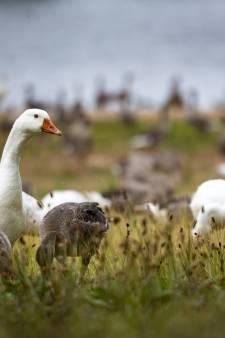 Getuigen zien veewagen 60 tamme ganzen dumpen op provinciale weg in Wijhe