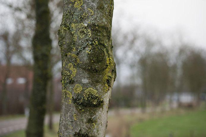 Een boom die aangetast is door essentaksterfte.