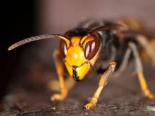 Eerste échte Aziatische hoornaar waargenomen in Zeeuws dorpje