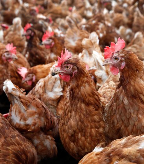 Stal met 85.000 kippen mag er komen ondanks bezwaren omwonenden in Winssen