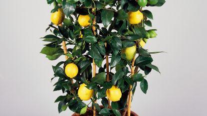 Je eigen citroenboom