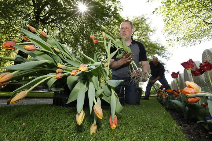 Medewerkers van de Oorlogsgravenstichting (OGS) planten de tulpen op het ereveld aan de Grebbenberg