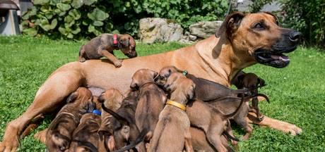 8 tepels, 14 pups: drinken in groepjes bij Zimba in Albergen
